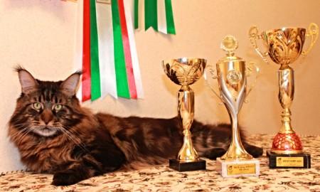 3 кубка в один день! Такой улов ждал Юпитера на выставке по системе WCF! Он стал лучшим взрослым животным выставки (Best of Best opposite Sex SLH), лучшим котом в