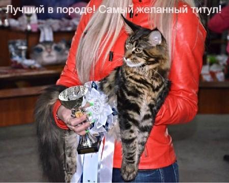 Наш выпускник Орландо, на второй в своей жизни выставке, снова стал лучшим в породе! Лучший котенок выставки (Best Kitten in Show), закрыл титул Юного Чемпиона!