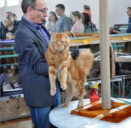 Наш выпускник Лукас на выставке: 1-й день- оценка отлично и nom Bis, WCF ринг 5-е место (в конкуренции 30 животных) Лучший кот! 2-й день: оценка отлично и nom Bis, WCF ринг 2-е место. Монопородное шоу мейн кунов- Лучший кот, Лучшее взрослое животное!